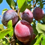 South American Prune Crop Report